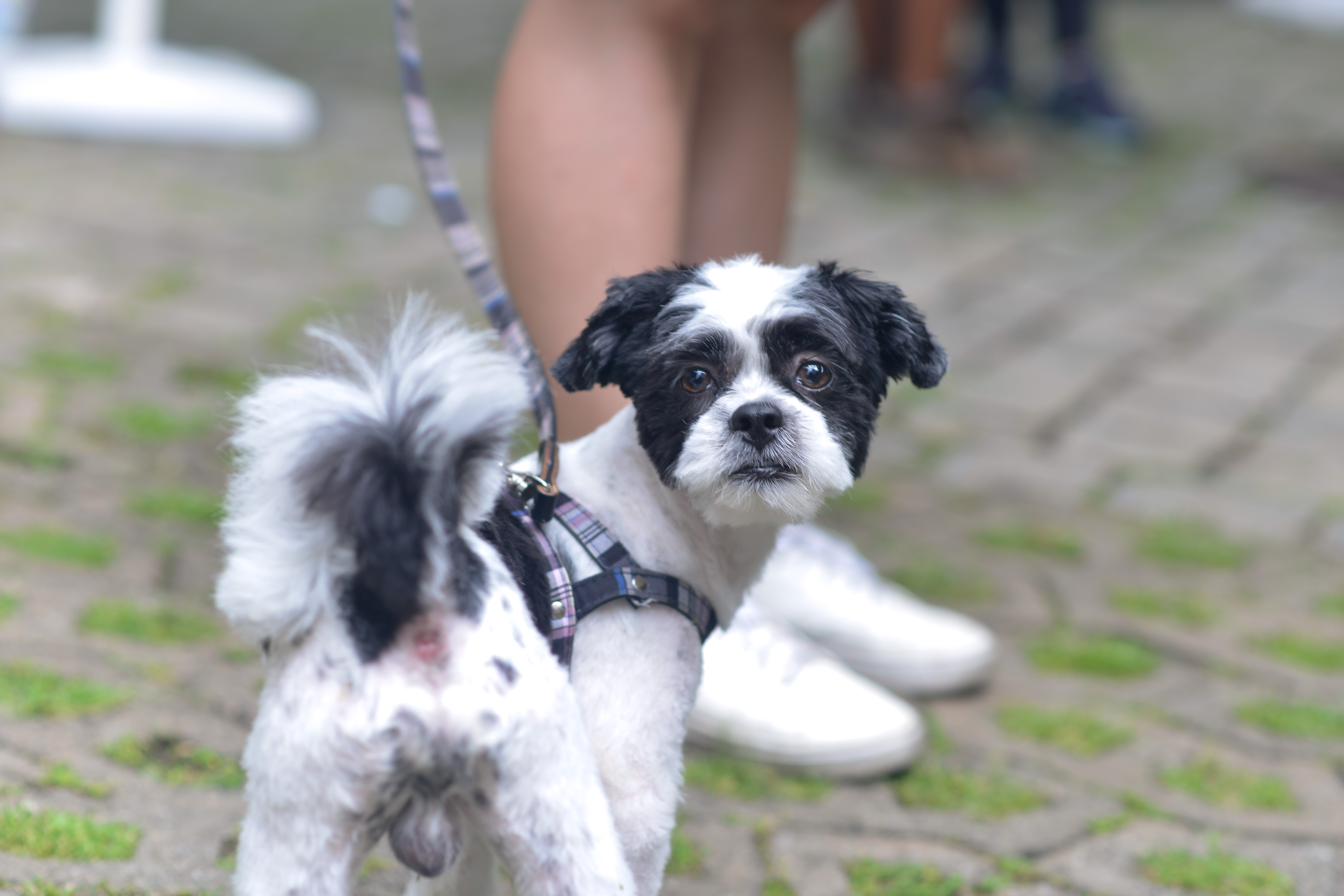 Cachorro Feira Fresca Vila 211